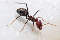 formigas-doenas