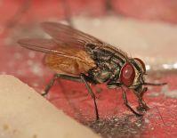 moscas-doenas