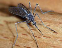 mosquitos-doenas