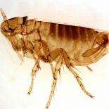 pulgas-doenas